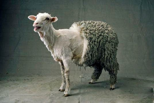 half-shornsheep