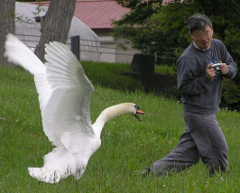 swan_attacks_photog