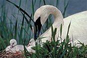 swan_nest
