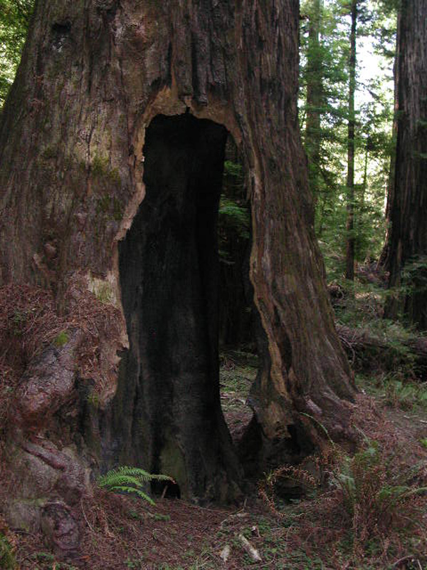 hollowredwood