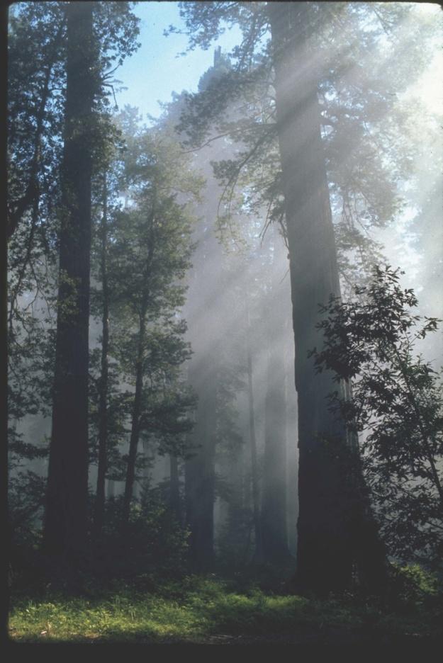 redwoods-sunburnsofffog