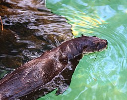 California_River_Otter